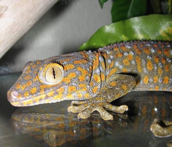 Geckos I have known