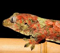 For all of you crazy about the strange, beautiful, ancient geckos of the rhacodactylus genus this is the place for you!  Share stories of funny interaction moments, set ups and...