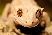 Hello I thought that I would start a group for crested geckos. Anyone can join. :)