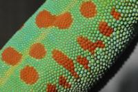 Your group for everything related to Giant Day Geckos, Phelsuma grandis