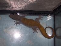 TOKAY's Golden gecko's African geckos Day,leaf tail gecko's